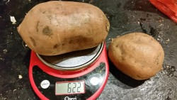 """One of the largest sweet potatoes in my bag, approximately 5 servings, may appear to be """"medium"""" once cooked."""